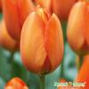 Тюльпан Оранжевый шар