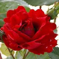 Парково-кустовая роза Чамплейн (Champlain)
