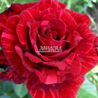 Чайно-гибридная розаРед Интуишн (Red Intuition)