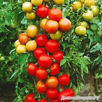 Чудо-помидоры Катрина F1