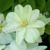 Клематис Дженси Крим крупноцветковый (капер)