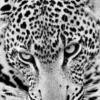 Мозаичная картина Хищник 19х27см AG495 полная квадратная