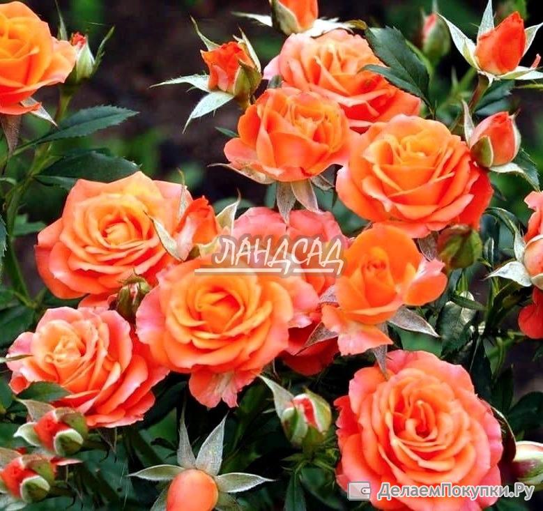 самая красивая роза отзывы вклады банках Новокузнецка