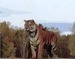 Картина-раскраска по номерам 40*50 GX 5278 Владения тигра