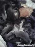 Обрезки меха блюфроста и чернобурки за 0,5 кг, разного цвета и размера