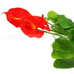 """67156 - Цветок """"Антуриум"""" с корнем 43см"""