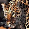 Картина-раскраска по номерам 40*50 GX 3779 Желтоглазый леопард