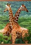 ИК обогреватель. Жирафы