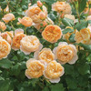 Роза парковая Роальд Даль