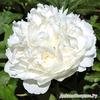 Пион молочноцветковый 'Уайт Сара Бернар', белый есть 1 штука