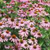Цветы Эхинацея Пурпурная мантия
