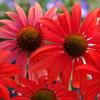 Цветы Эхинацея Красная шляпа