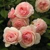 Роза парковая A Shropshire Lad  (Э Шропшир Лэд)
