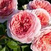 Роза парковая Abraham Darby (Абрахам Дерби)