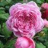 Роза парковая Alan Titchmarsh (Алан Титчмарш)
