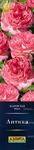 Роза Антика