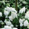 Hydrangea paniculata 'Polar Bear' 4-6 веток