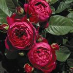 Роза Аскотт