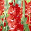 Гладиолус карликовый Мирелла