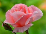 """РН GX24561 """"Розовая роза с бутоном"""", 40х50 см"""