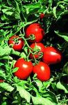 Сурия F1 семена томата детерм.., (Vilmorin / Вильморин)