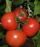 Пинк Уникум F1 семена томата индетерм.., (Seminis / Семинис)