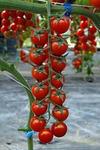 Скляри F1 семена томата индетерм.., (Vilmorin / Вильморин)