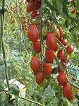 V 328 F1 семена томата индетерм.., (Vilmorin / Вильморин)