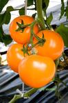 Бигоранж F1 (Ti-169 F1) семена томата индетерм.., (Takii / Таки)