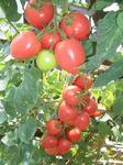 Бонапарт F1 семена томата индетерм.., (Vilmorin / Вильморин)