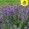 Лаванда узколистная Хидкот Блю (цветки фиолетово-синие)