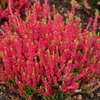 Вереск обыкновенный Дарк Бьюти (цветки светло-красные)
