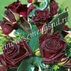 Роза чайно-гибридная Блэк Баккара (темно-красный, почти  черный)