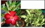 Adenium ObesumVariegated leaves RED 5 шт