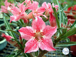 Adenium Obesum	Dance of butterfly 5 шт