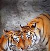 Обогрев настенный Тигр