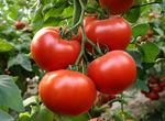 Аксиома F1 семена томата индетерм.., (Nunhems / Нюнемс)