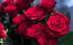 Роза малая малиновая