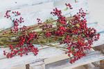 Высокая ветка ягод шиповника