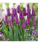Тюльпан лилиецветный Пёпл Дрим, 8 луковиц