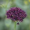 Лук темно-пурпуровый, 6 луковиц