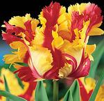Тюльпан попугайный Фламинг Пэррот, 6 луковиц
