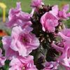 Флокс метельчатый Зенобия, НОВИНКА. 5 корней