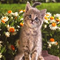 Алмазная вышивка «серый котенок среди ромашек»