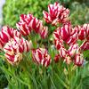 Тюльпан Фламинг Клаб 8 лук