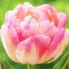 Тюльпан Апстар 5 лук