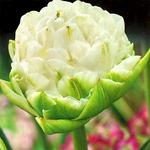 Тюльпан Вайт Маунтин, 8 луковиц