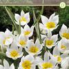 Тюльпан Полихрома, 8 лук