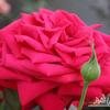 Роза чайно-гибридная Бабкина (Babkina)