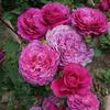 Роза шраб Вентило (Ventilo)